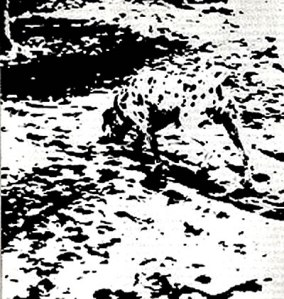dalmatiancamouflage
